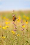 fritillary Regal Fritillary Speyeria idalia butterfly Felton WMA Clay County MNIMG_1480