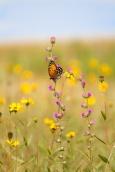 fritillary Regal Fritillary Speyeria idalia butterfly Felton WMA Clay County MN IMG_1480