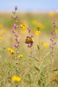 fritillary Regal Fritillary Speyeria idalia butterfly Felton WMA Clay County MN IMG_1489