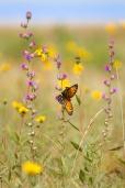 fritillary Regal Fritillary Speyeria idalia butterfly Felton WMA Clay County MN IMG_1493