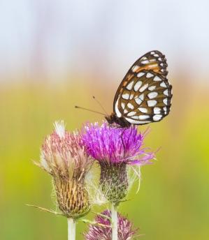 fritillary Regal Fritillary Speyeria idalia butterfly Felton WMA Clay County MN IMG_1607