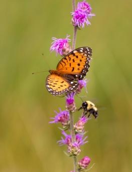 fritillary Regal Fritillary Speyeria idalia butterfly Felton WMA Clay County MN IMG_1628