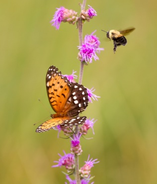 fritillary Regal Fritillary Speyeria idalia butterfly Felton WMA Clay County MN IMG_1630