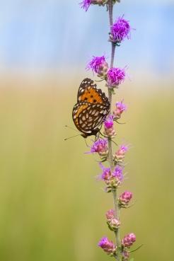 fritillary Regal Fritillary Speyeria idalia butterfly Felton WMA Clay County MN IMG_1634