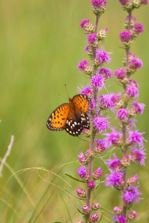 fritillary Regal Fritillary Speyeria idalia butterfly Felton WMA Clay County MN IMG_1635