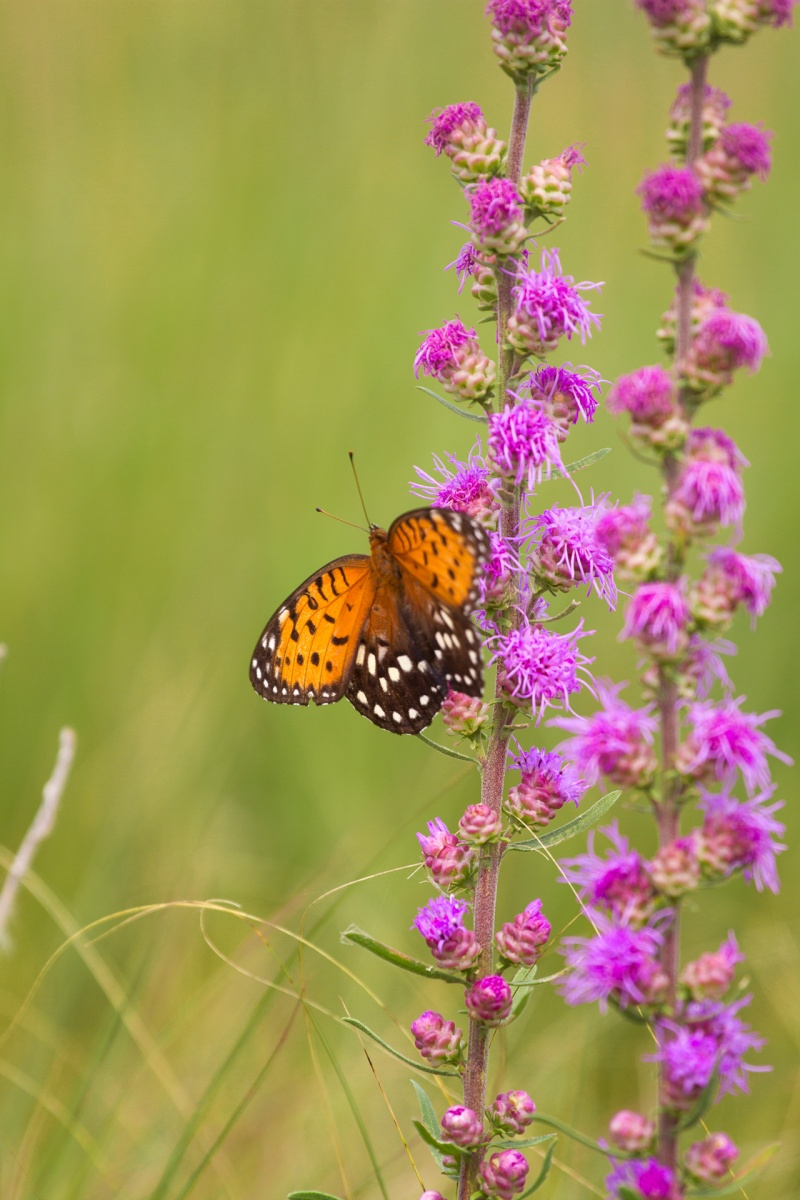 36 Hours on the Prairie: The aptly-named Regal Fritillary