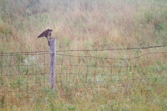 Merlin in the fog Felton Prairie Clay County MN IMG_1186