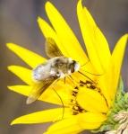 Anastoechus barbatus bee fly Glacial Ridge National Wildlife Refuge NWR Polk County MNIMG_1945