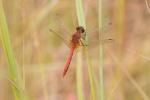 meadowhawk Saffron-winged Meadowhawk Sympetrum costiferum Glacial Ridge National Wildlife Refuge NWR Polk County MNIMG_1882