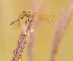 meadowhawk Saffron-winged Meadowhawk Sympetrum costiferum Glacial Ridge National Wildlife Refuge NWR Polk County MNIMG_1915