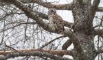 Barred Owl Owl Avenue Sax-Zim BogMNIMG_1274