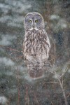 Great Gray Owl hunting in snowfall Old Superior Street DuluthMNSNY04310