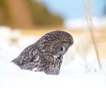 Great Gray Owl intersection Owl Avenue and Arkola Road CR52 Sax-Zim BogMNIMG_0141