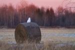 Snowy Owl mature male on haybale CR229-29 Dart Road Sax-Zim BogMNIMG_3946