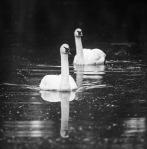 Trumpeter Swan pair Yellowstone National ParkWYIMG_0581