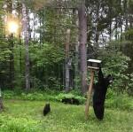 Black Bear sow with three cubs in our backyard feeder Skogstjarna Carlton CountyMNIMG_5648