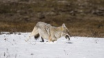 Coyote pouncing hunting voles EXTRACTED VIDEO FRAME Yellowstone National Park WYP1022382