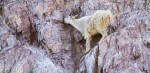 Mountain Goat Glacier National ParkMTIMG_1456