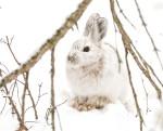 Snowshoe Hare Warren Nelson Memorial Bog Sax-Zim BogMNIMG_0836