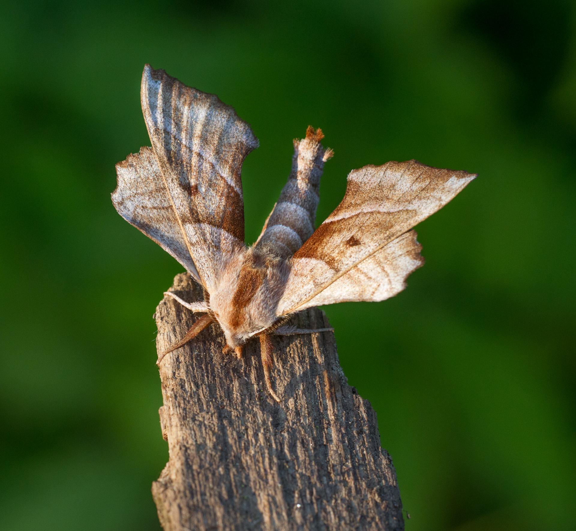 Amorpha juglandis Walnut Sphinx 7827 Family Sphingidae Skogstjarna Carlton County MNIMG_0801