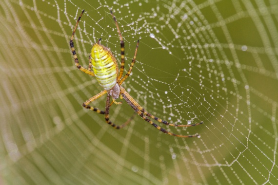 Argiope trifasciata Banded Garden Spider Felton WMA Clay County MNIMG_1232