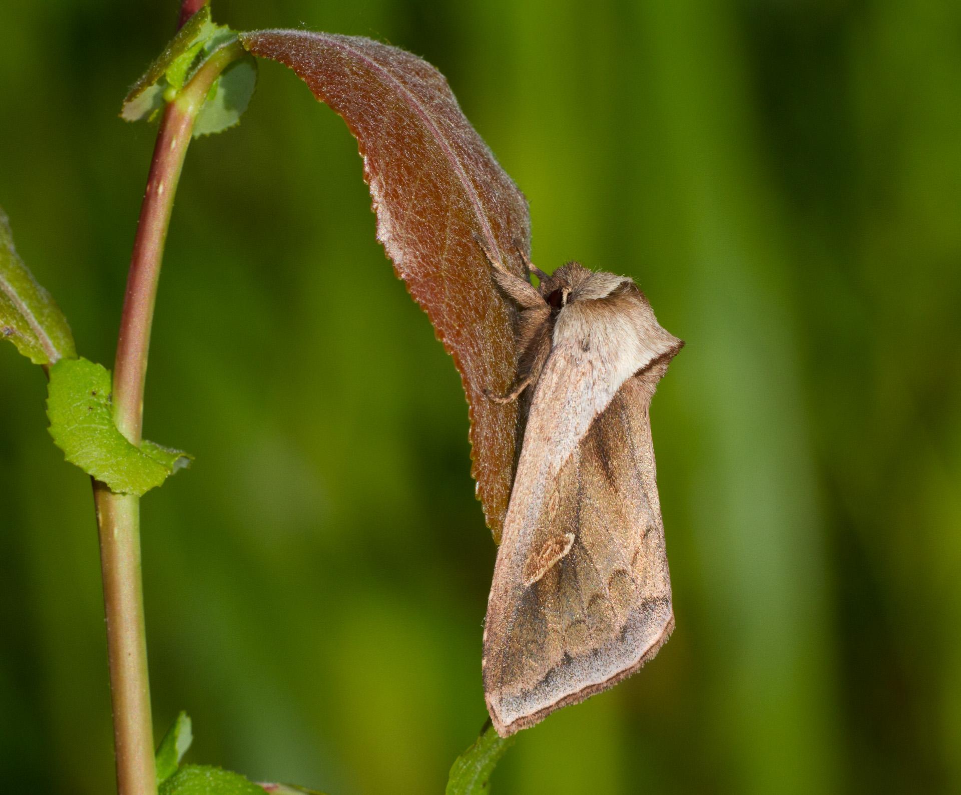 Bellura obliqua Cattail Borer 93-2517 9525 Family Noctuidae Skogstjarna Carlton County MN IMG_0719