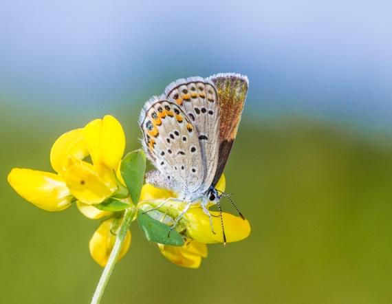 blue Karner Melissa Blue butterfly Lycaeides melissa samuelis Necedah National Wildlife Refuge Necedah WIIMG_2273