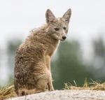 Coyote pup juvenile young on hay bale McDavitt Road Bog BioBlitz VI FOSZB Sax-Zim BogMNIMG_0108