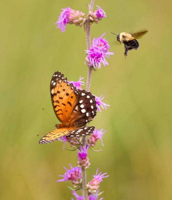 fritillary Regal Fritillary Speyeria idalia butterfly Felton WMA Clay County MNIMG_1630