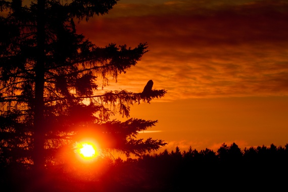 Great Gray Owl sunrise CR2 near Two Harbors MNIMG_5801
