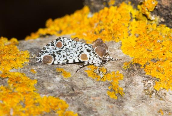 Harrisimemna trisignata Harris's Three-Spot moth 93-1498 9286 Family Noctuidae Skogstjarna Carlton County MNIMG_0337