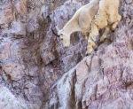 Mountain Goat Glacier National ParkMTIMG_1449