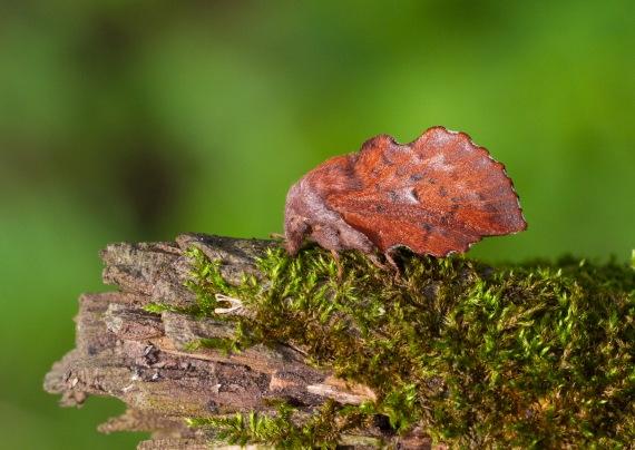 Phyllodesma americana American Lappet Moth 7687 Family Lasiocampidae Skogstjarna Carlton County MN IMG_0750