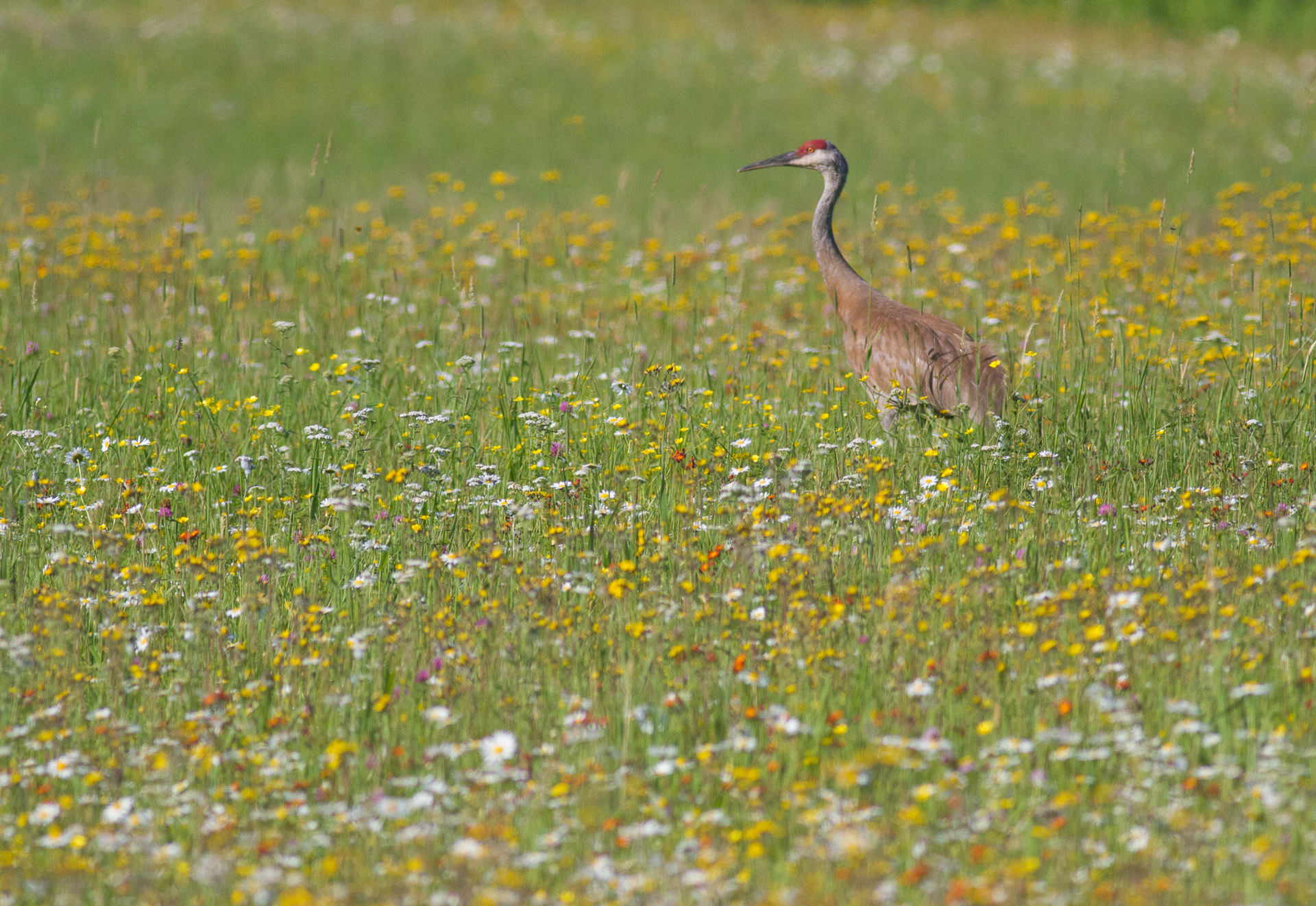 Sandhill Crane with colt in flowers Pine County MNIMG_1063