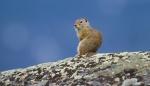 Uinta Ground Squirrel Yellowstone Picnic Yellowstone National ParkWYIMG_6631