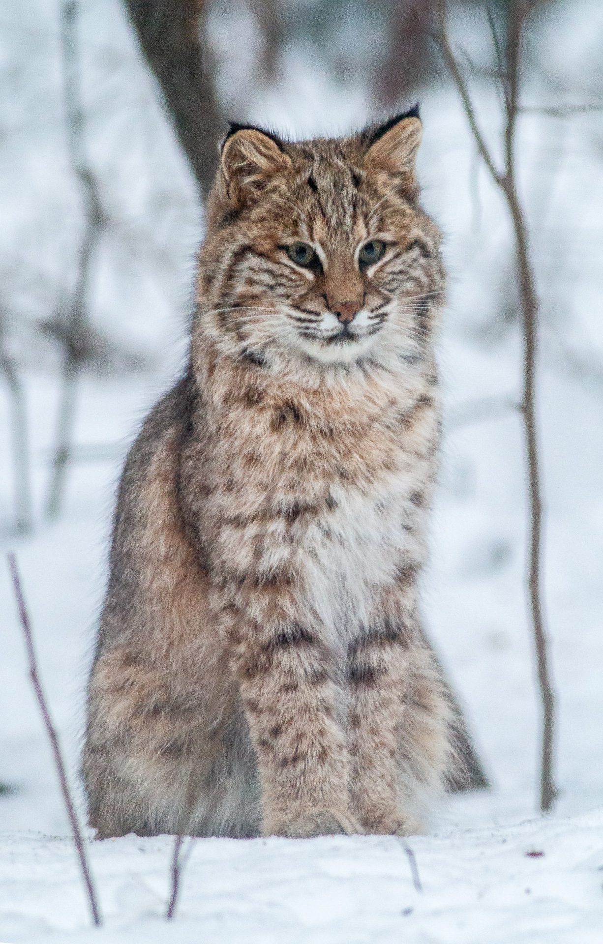 Bobcat Lynx rufus outside our living room window Skogstjarna Carlton County MN IMG_2706