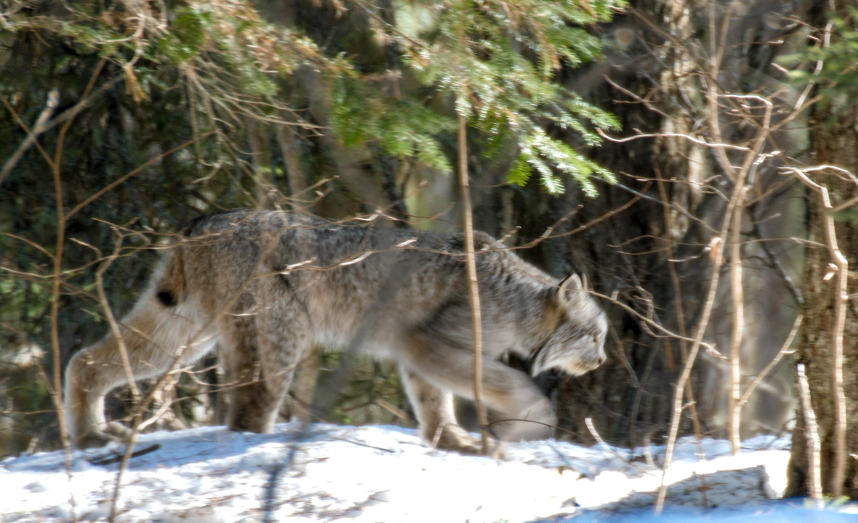 Canada Lynx Lynx canadensis Sawbill Trail near Hogcreek Road Cook County MN P1033207-1