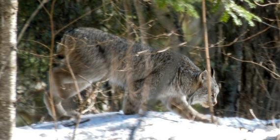 Canada Lynx Lynx canadensis Sawbill Trail near Hogcreek Road Cook County MN P1033207-2