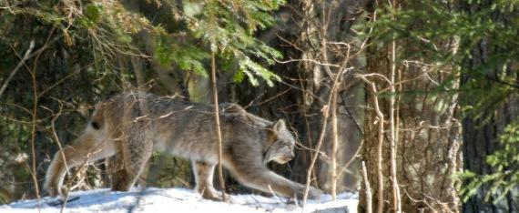 Canada Lynx Lynx canadensis Sawbill Trail near Hogcreek Road Cook County MN P1033207-3
