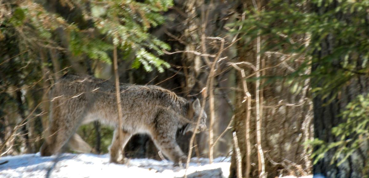 Canada Lynx Jinx Broken!