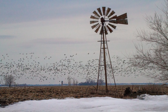flock of geese and old windmill IMG_3818