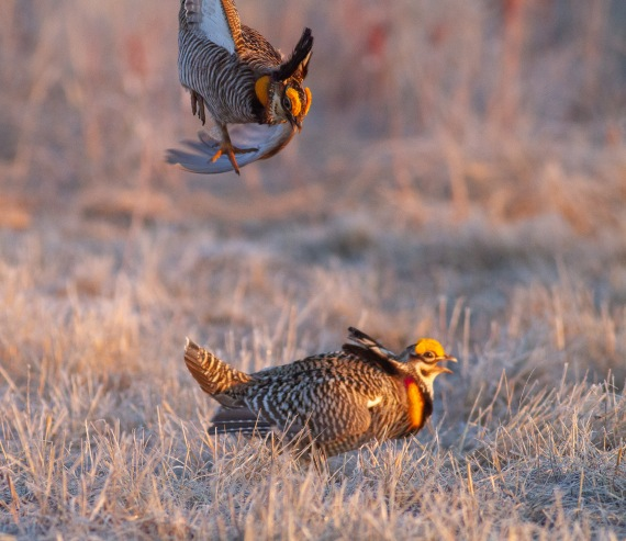 Greater Prairie-Chicken Tympanuchus WMA Glacial Ridge NWR Polk County MN IMG_4768