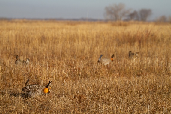 Greater Prairie-Chicken Tympanuchus WMA Glacial Ridge NWR Polk County MN IMG_5166