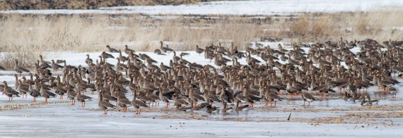 Greater White-fronted Geese just east of Elbow Lake MN IMG_3383