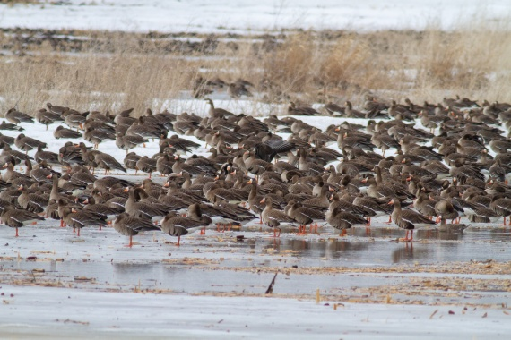 Greater White-fronted Geese just east of Elbow Lake MN IMG_3436