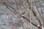 Hermit Thrush in snow along the Kettle River Carlton County MNIMG_4077