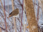 Hermit Thrush in snow along the Kettle River Carlton County MNIMG_4088
