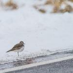 Killdeer in snow CR6 Carlton County MNIMG_4076