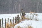 Red-tailed Hawk on wood fence post CR6 Carlton County MNIMG_4168