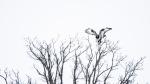 Rough-legged Hawk Firebird WMA CR6 N of Kettle River Carlton County MNP1033471